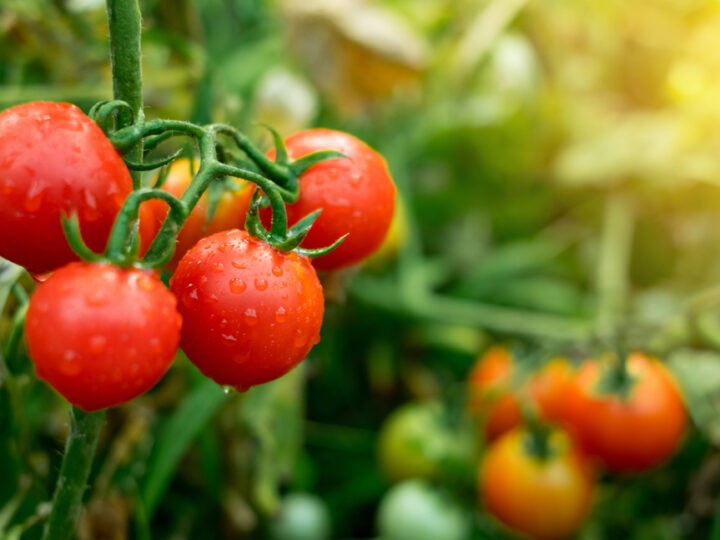 What happens if you eat a lot of tomatoes?
